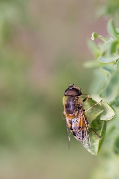 Syrphus ribesii Premium Фотографии