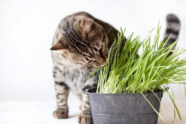 Tabby cat eats fresh green grass. cat grass. useful food for animals Premium Photo