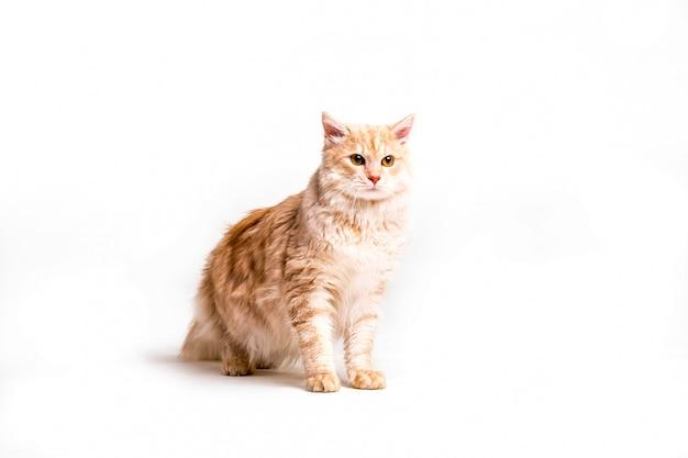 白い背景上のtabby猫の肖像 無料写真