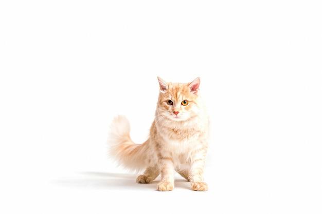 かわいいtabby猫の肖像画は、白い背景に 無料写真