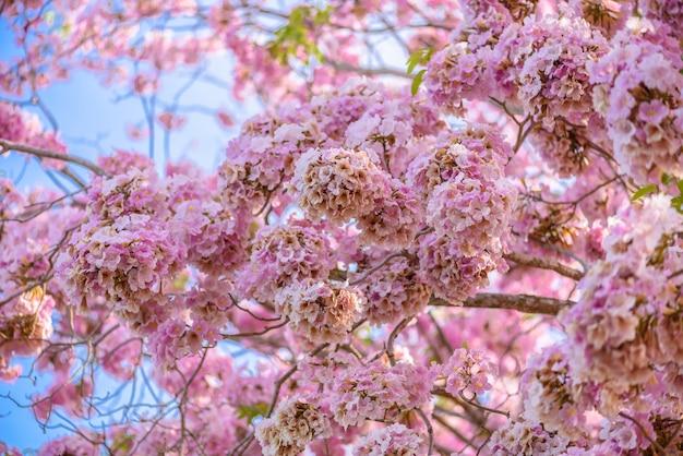 Tabebuia rosea is a pink flower neotropical tree and blue sky tabebuia rosea is a pink flower neotropical tree and blue sky common name pink trumpet mightylinksfo