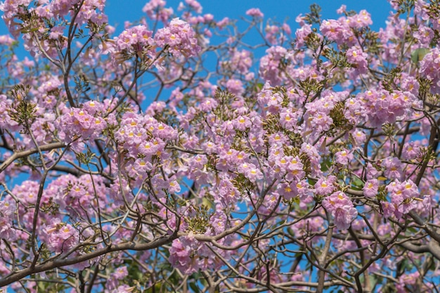 春に咲く美しいtabebuia roseaの花 Premium写真