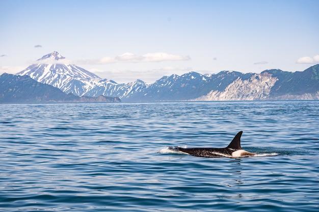 帆船の前でザトウクジラの尾 Premium写真