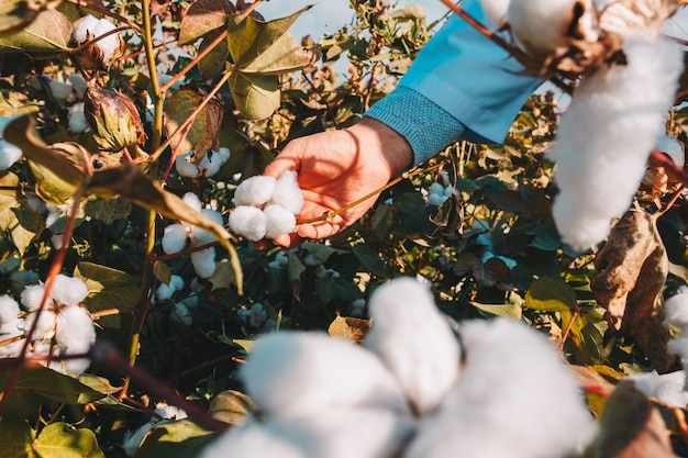 Taking cotton from the branch by a farmer. Free Photo