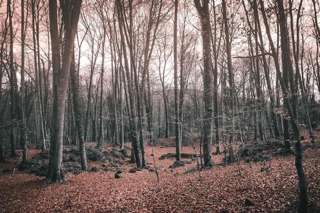日光の下で秋の森の背の高い裸木-不気味な概念に最適 無料写真
