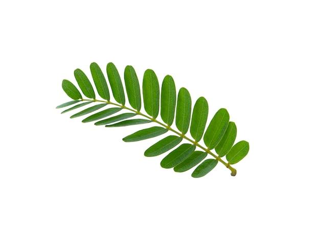 タマリンドの葉は白 Premium写真