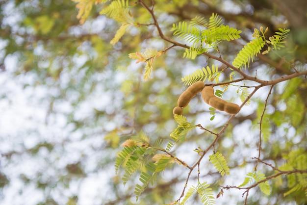 Tamarind on the tree Premium Photo