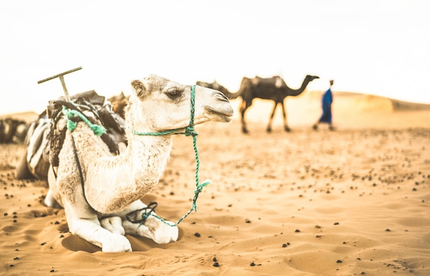 Tamed dromedary resting after ride excursion in merzouga desert in morocco Premium Photo