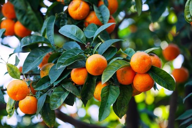 tangerines on  branch Free Photo