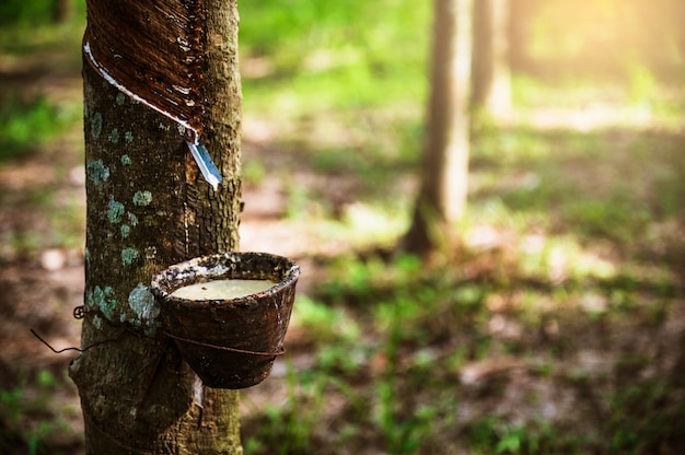 Tapping latex rubber tree, rubber latex extracted from rubber tree, harvest in thailand. Premium Photo