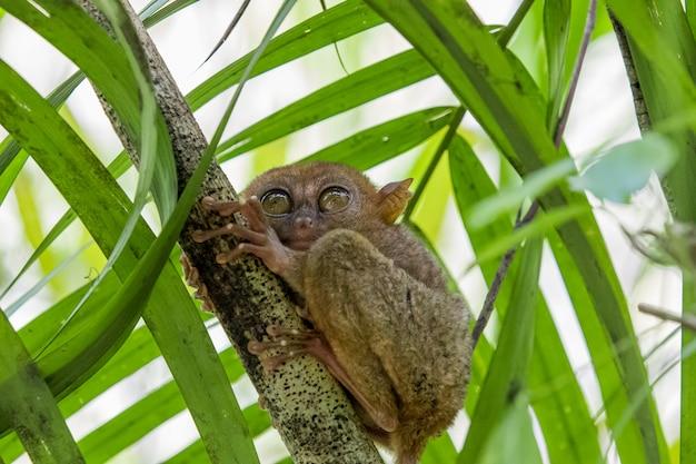 Tarsier обезьяна самая маленькая в мире Premium Фотографии