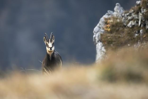 秋の乾いた草の後ろから見たタトラシャモア Premium写真