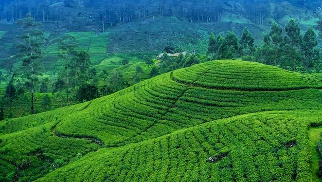 Tea estate in sri lanka Premium Photo