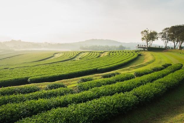 Tea farm in the morning Premium Photo