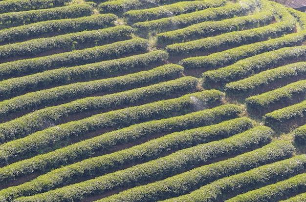 Tea farm Premium Photo