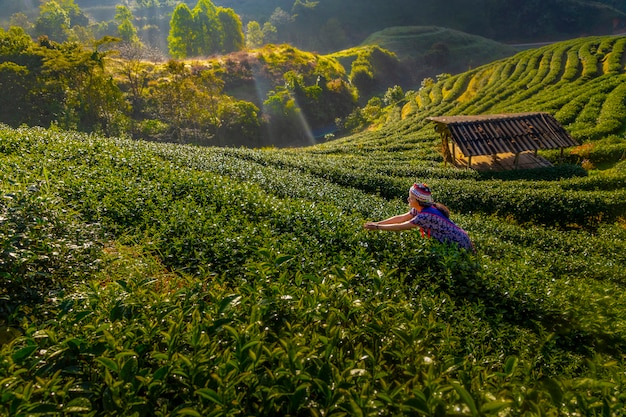 Tea farmers are collecting tea in the morning, amidst mountains and fog. Premium Photo