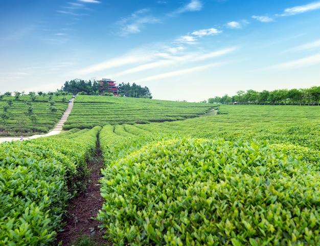 Tea garden Premium Photo