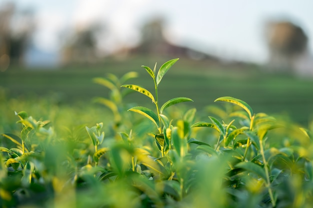 The tea leaves grow in the middle of the tea plantation. Premium Photo