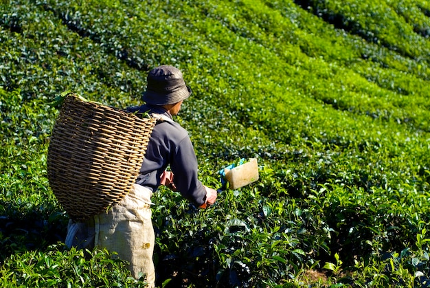 Tea picker harvesting tea leaves Free Photo
