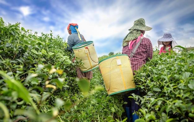 Tea picker picking tea leaf on plantation, chiang rai, thailand Premium Photo