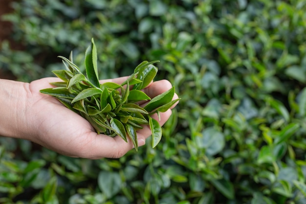 Tea picker woman's asian  hands - close up,pretty tea-picking girl in plantation. Free Photo