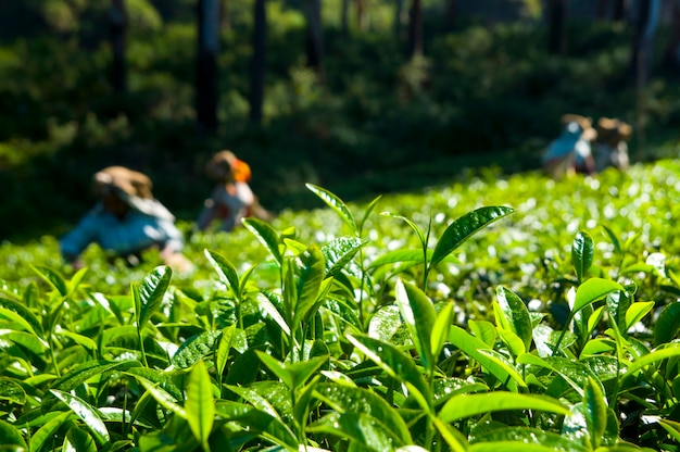 Tea pickers working at kerela india. Free Photo