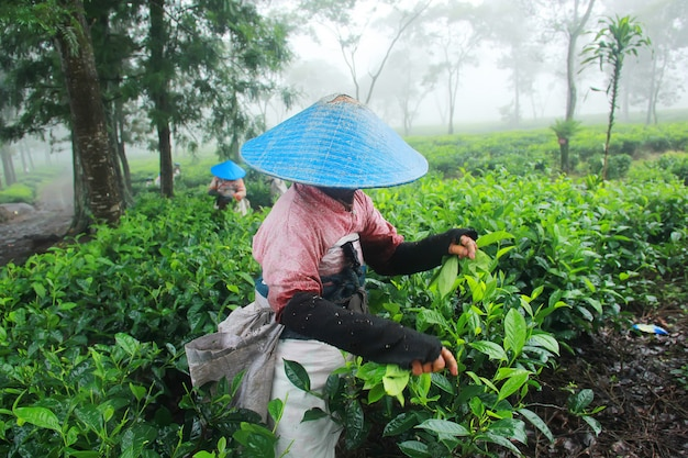 Tea picking farmers Premium Photo