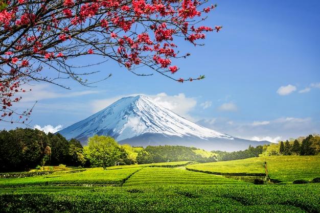 Tea plantation on the back overlooking mount fuji with clear sky in shizuoka, obuchi sasaba, japan Premium Photo