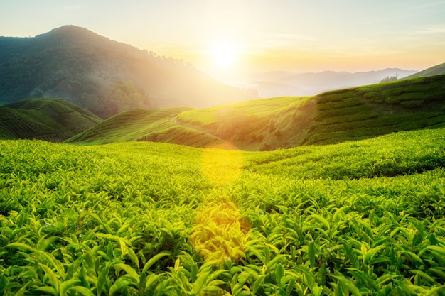 Tea plantation in cameron highlands, malaysia Premium Photo