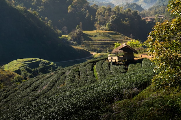 Tea plantation at doi ang kang Premium Photo