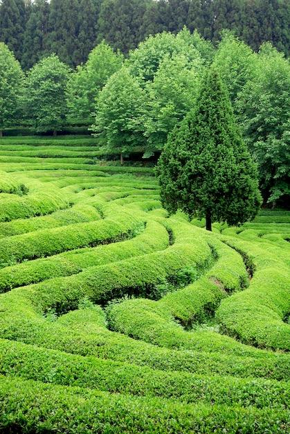 Tea plantation in asia Free Photo