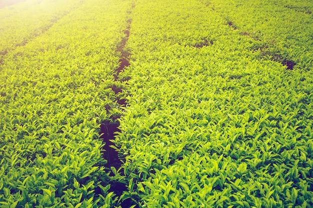 マレーシアの茶畑 Premium写真