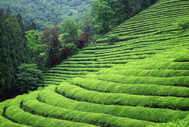 Tea plantation in south east asia Free Photo