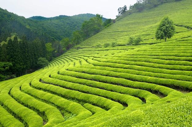 한국의 차 농장 (밝은 녹색 수풀은 녹차를위한 것입니다). 무료 사진