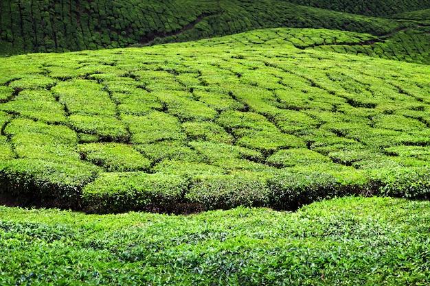 Tea plantation in munnar Premium Photo