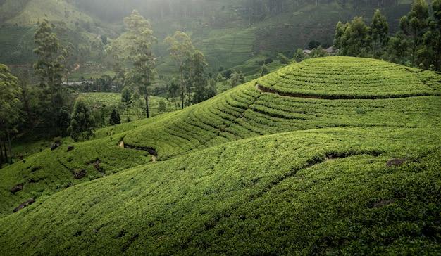 Tea plantation in sri lanka Premium Photo