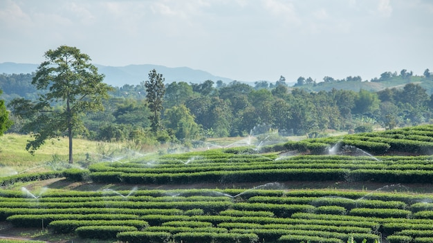 Tea plantation and water sprinkler. Premium Photo