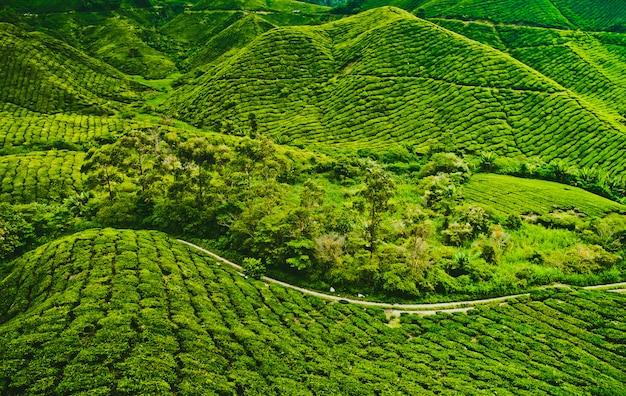 茶畑 Premium写真