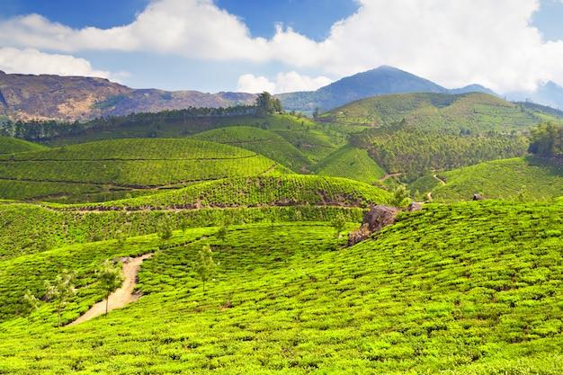 Tea plantation Premium Photo