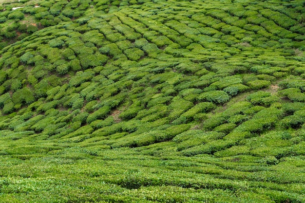 Tea plantations cameron valley. green hills in the highlands of malaysia. tea production. green bushes of young tea. Premium Photo