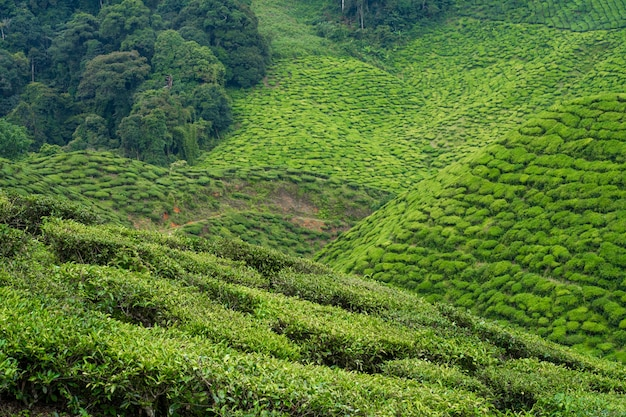 Tea plantations cameron valley. green hills in the highlands of malaysia. tea production. green bushes of young tea Premium Photo