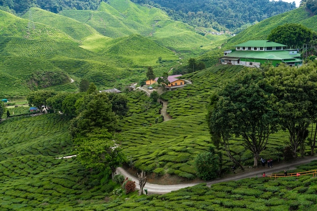 Tea plantations cameron valley. green hills in the highlands of malaysia Premium Photo