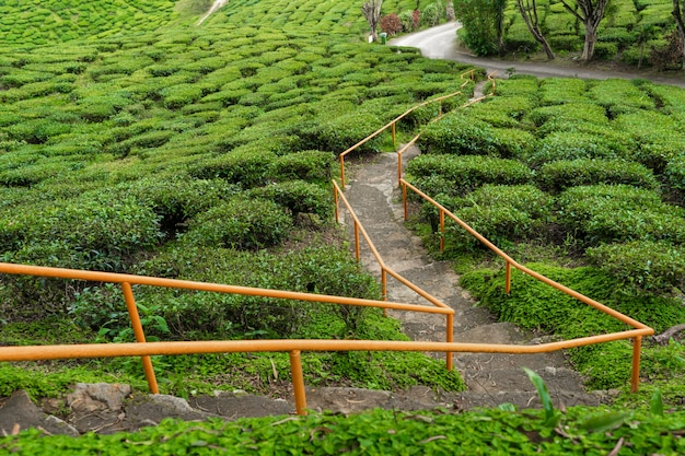 Tea plantations cameron valley. green hills in the highlands of malaysia. Premium Photo