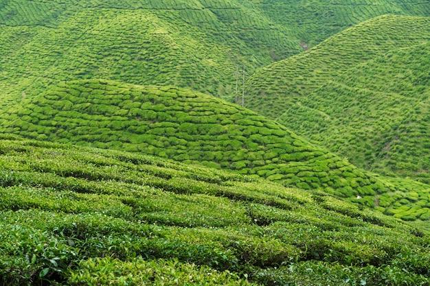 茶畑キャメロンバレー。マレーシアの高地にある緑の丘。お茶の生産。若いお茶の緑の茂み。 Premium写真
