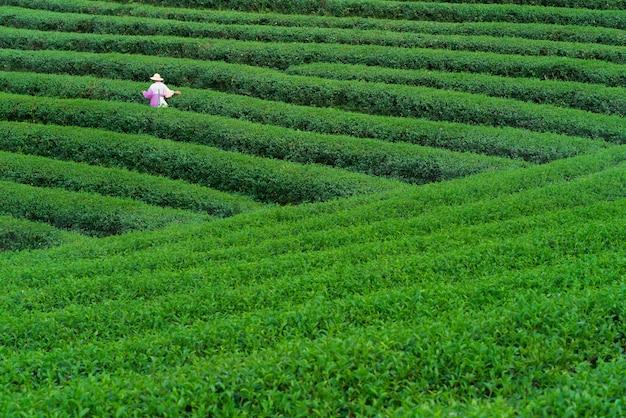 Tea worker picking tea leaves in a tea plantation Premium Photo