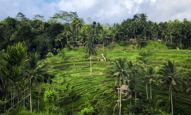 Tegallalang rice terrace, ubud, bali Premium Photo