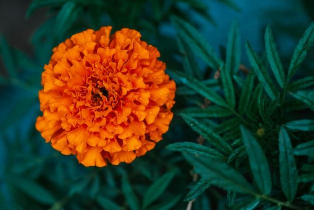 Tender marigold on rich greenery with raindrops. Premium Photo