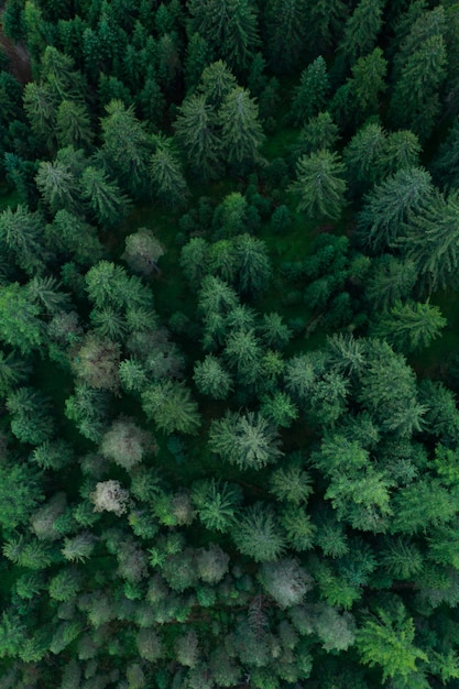 Texture of forest view from above, aerial top view forest, panoramic photo over the tops of pine forest Premium Photo