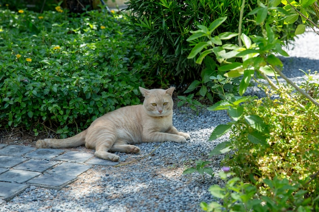 Thai brown cat on the small rock floor Premium Photo