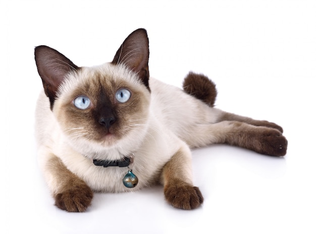 A thai cat is a traditional or old-style siamese cat Premium Photo